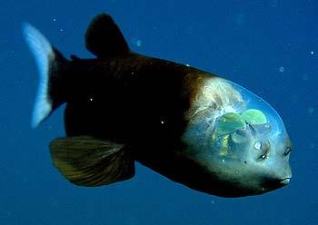 科学家揭开脑袋透明深海怪鱼视力之谜(图片)