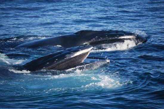 英媒公布壮观鲸鱼照片:海鸥鲸口抢食