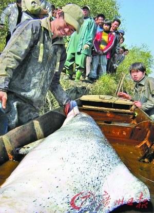工作人员正在对搁浅的白海豚进行救助。