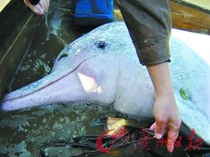 救助白海豚。