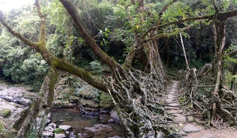 揭秘印度奇妙树根桥:50人站上面也不倒(图)