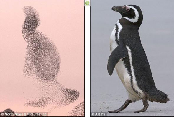 星椋鸟群的队形酷似企鹅