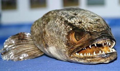 十大臭名昭著入侵物种:蛇头鱼