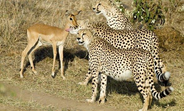 动物兄弟里的猎豹图片