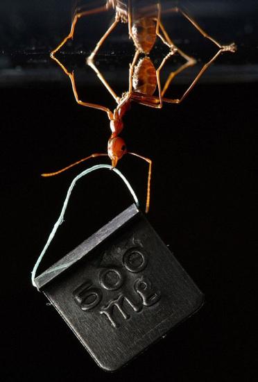 BBSRC科学摄影比赛一等奖作品。照片中,一只亚洲织蚁在类似玻璃的表面上倒挂金钟,用颚部叼住一个500毫克的重物。