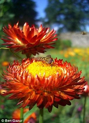 展示了两只食蚜蝇,一只在花上停留,另一只正在飞行之中,由爱丁堡大学的本·加佐尔拍摄。