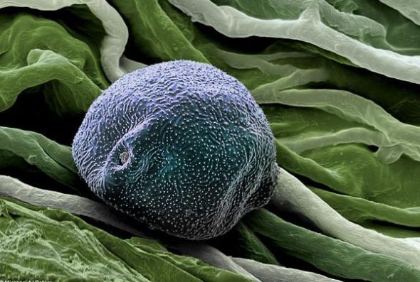照片中是桦树的花粉。桦树花粉是引起英国花粉热最常见的原因之一。桦树一般在3月至5月间释放花粉,花粉热患者的症状可能在4月最为严重。