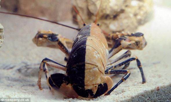 海洋专家认为这只龙虾大约有5或6岁