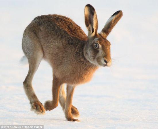 能够与雌兔顺利交配的都是最健壮并且速度最快的雄兔。它们每年交配数次,并非只在3月。