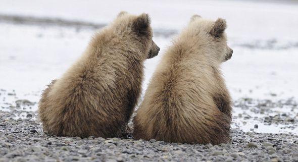 当成年棕熊在银鲑溪捕食鲑鱼时,两只小棕熊并肩坐着望向远方