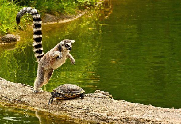 狐猴可不是被吓大的,它最终鼓足勇气,决定从海龟身上跳过去