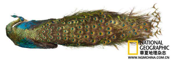 1860年,达尔文曾在一封信中表达了对于无法解释孔雀尾屏的懊恼