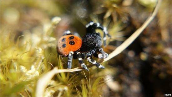 """""""瓢虫蜘蛛"""":怎么样?这种蜘蛛鲜艳的颜色是不是很像一只瓢虫"""