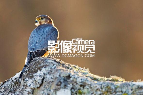 拍摄逆光下的飞禽   逆光拍摄精彩的野生动物照片.