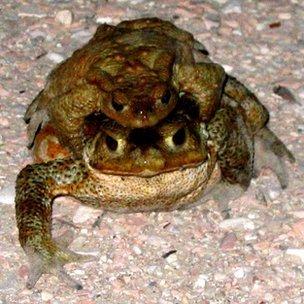 在2009年意大利拉奎拉地震发生前几天,当地的蟾蜍纷纷离开池塘