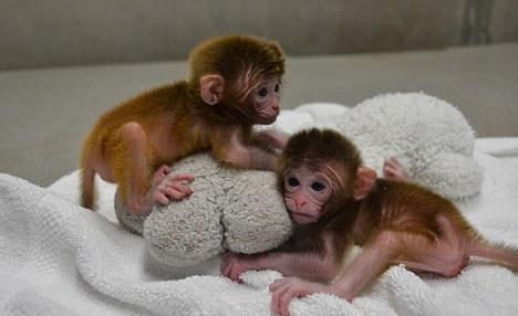 这对双胞胎的名字是按照希腊神话中由多种动物组成的口吐火焰的动物命名的,这些嵌合体是用来自2个或多个截然不同的遗传来源生成的细胞组成的