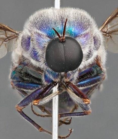 在澳大利亚发现的新种蜘蛛蝇,它们的幼虫可能在蜘蛛体内寄居多年,延长蜘蛛的寿命,阻止它们发育成成体