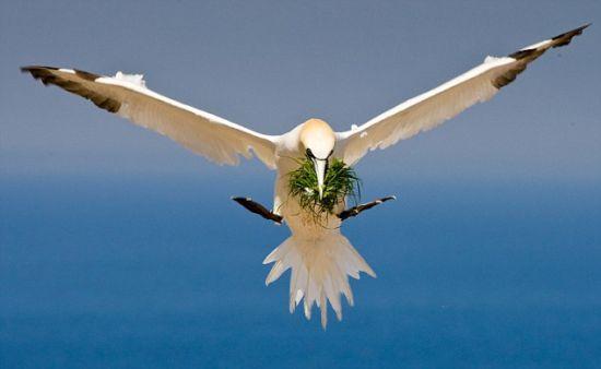 飞行中:一只塘鹅常用灌木装饰它的窝。