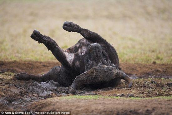 这头水牛是非洲五霸成员之一,被看成是所有物种中最危险的动物。