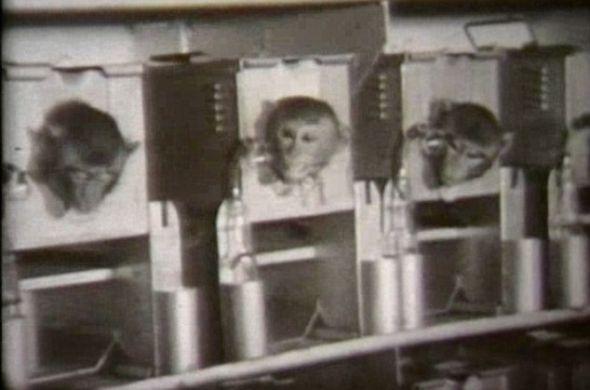 惊恐万状的猕猴们被关在狭小的笼子里,等待着接受细菌武器实验