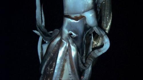 由NHK和探索频道拍摄的视频截图。这段摄于2012年7月的视频记录了集集岛附近海域中一只巨乌贼的活动。拍摄水深为630米,位于集集岛东面15公里的北太平洋中。
