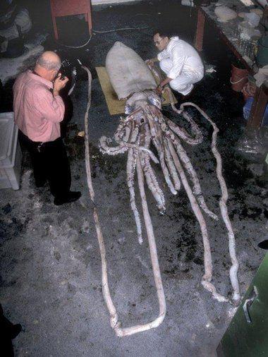 科学家称巨乌贼能长到18米长(包括巨大的触手)