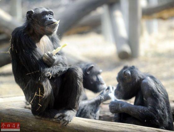 图为在日本东京多摩动物园,黑猩猩们在咀嚼韭葱。