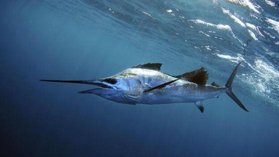 旗鱼是世界上游泳速度最快的动物之一,它在水中前进的速度甚至比猎豹奔跑的速度还要快,让人感到不可理解。