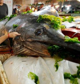 青岛渔民捕获巨型箭鱼王:长3米