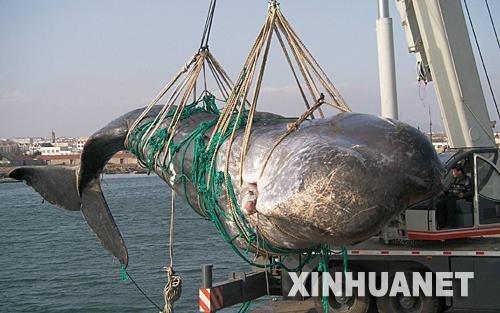 误闯养殖区死亡抹香鲸解剖基本完成(组图)(3)
