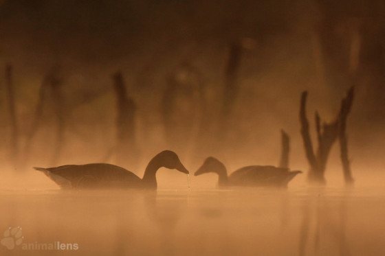 生态摄影师伪装拍摄:自由地在水中穿梭