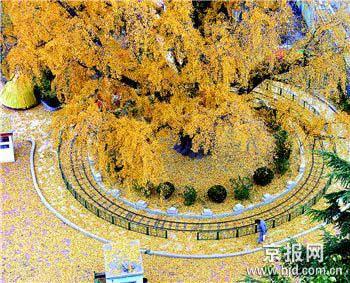 科技时代_古银杏树金黄色的叶子随风洒落(图)