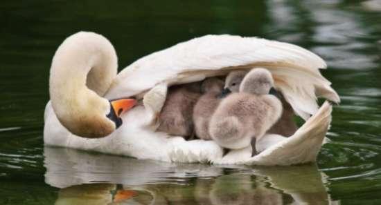 科技时代_天鹅母亲背驮宝宝游泳展现伟大母爱(图)
