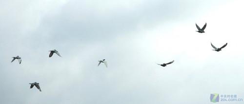 似混乱的鸽群也是有规律的-鸽子背上背包 GPS微型化方便科学研究