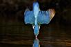 翠鸟生活精美照片