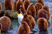 幼崽中的成年王企鹅