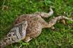 毒蛇大口吞咽青蛙