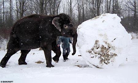 加拿大两头大象玩雪滚出大雪球(组图)