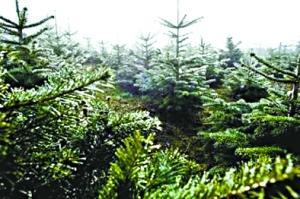 瑞典发现世界最长寿树已达9550岁(图)