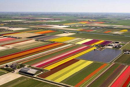 """荷兰农民展示郁金香""""大地艺术"""""""