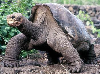 孤独生活36年巨型陆龟开始交配(组图)