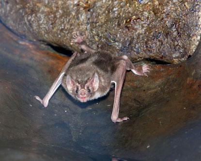 揭开吸血蝙蝠神秘面纱:一边吸血一边排尿