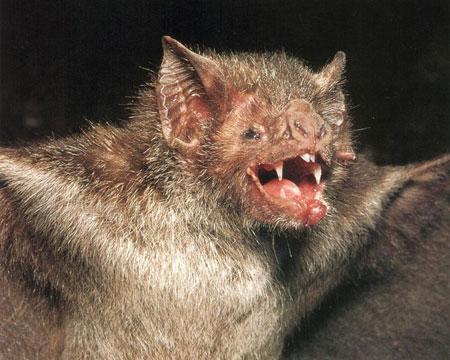 吸血蝙蝠:口腔构造有利于吸血