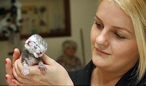 澳大利亚现双头猫两张嘴均会叫(组图)