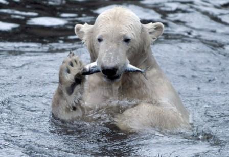 """北极熊""""克努特""""12月1日在柏林动物园吃鱼.鸽子突然没有死亡症状图片"""