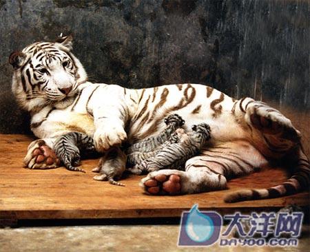 老虎咆哮的声音