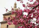 陕西:大雁塔看樱花