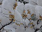 植物上积雪都成球儿了
