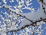 东城:风起雪后暗香浮动