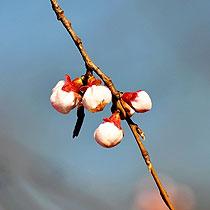玲珑公园:春花含羞
